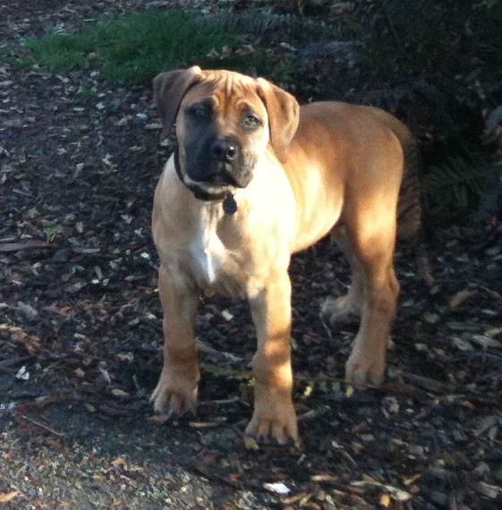 South African Boerboel pups - $1,600 (Angola)